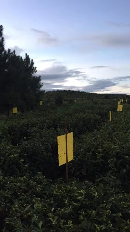 rows of white tea plants in fuding ding with sticky paper to keep them organic