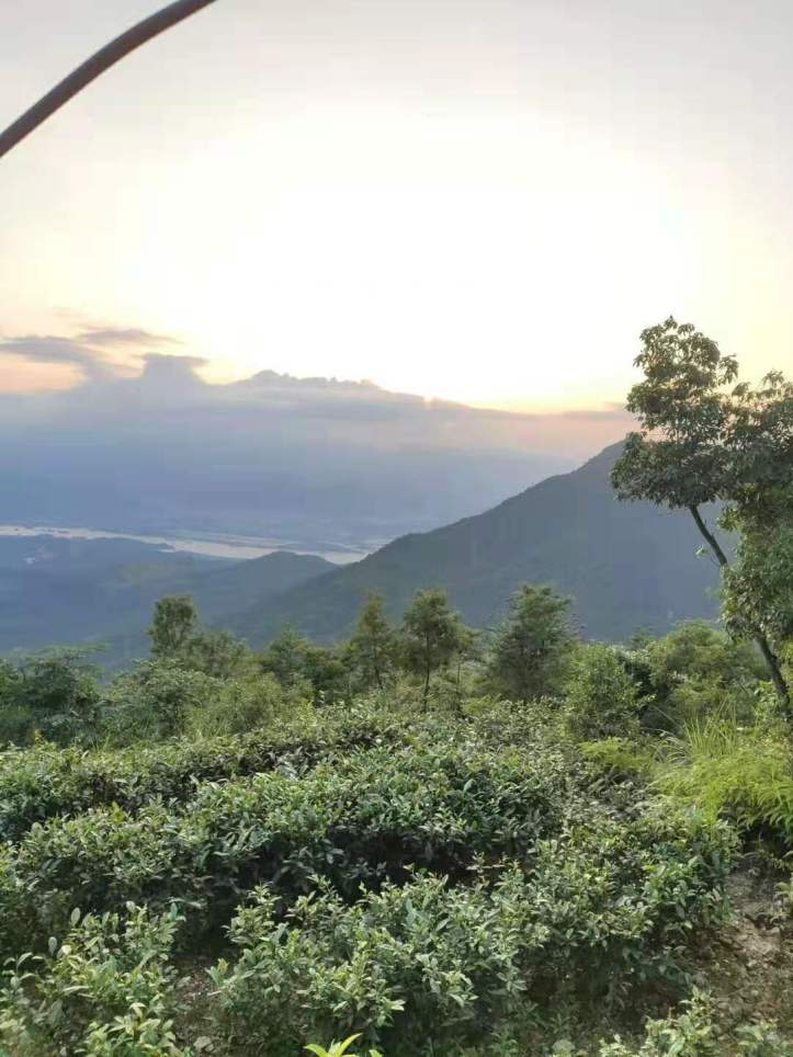 a white tea field in the high mountains of fu ding